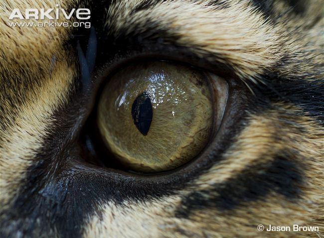 Clouded-leopard-eye-close-up.jpeg