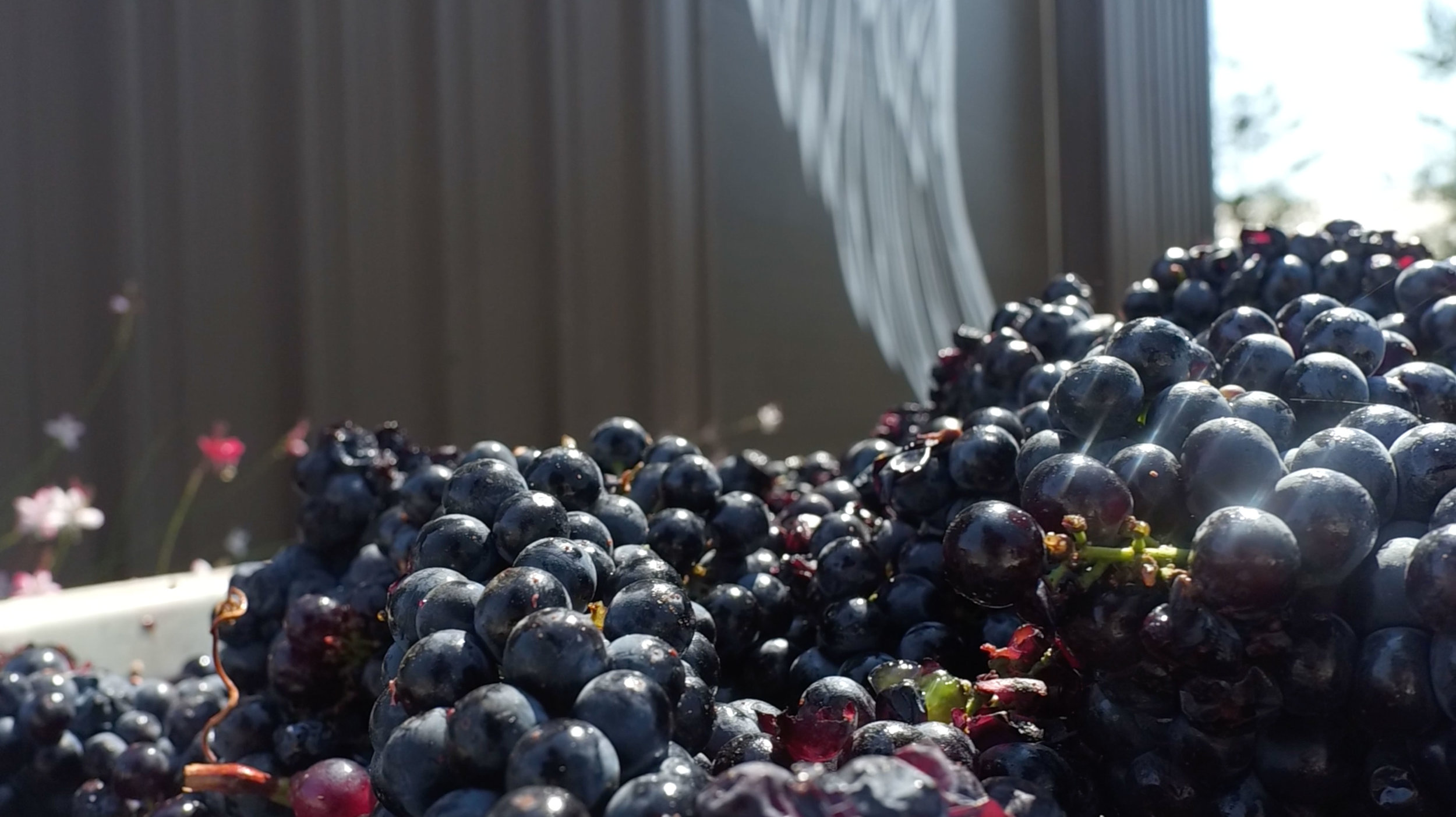 Grapes-Shine-1.jpg