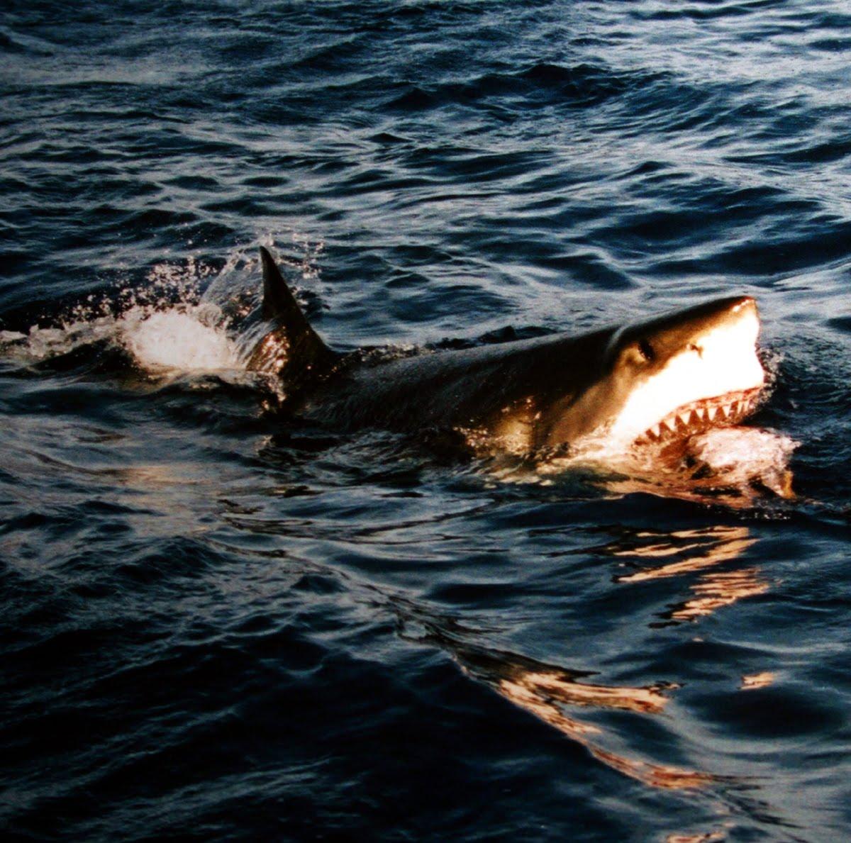 Surfacing_great_white_shark.jpg