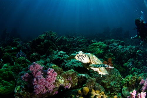 Underwater picture of small turtle amongst coral