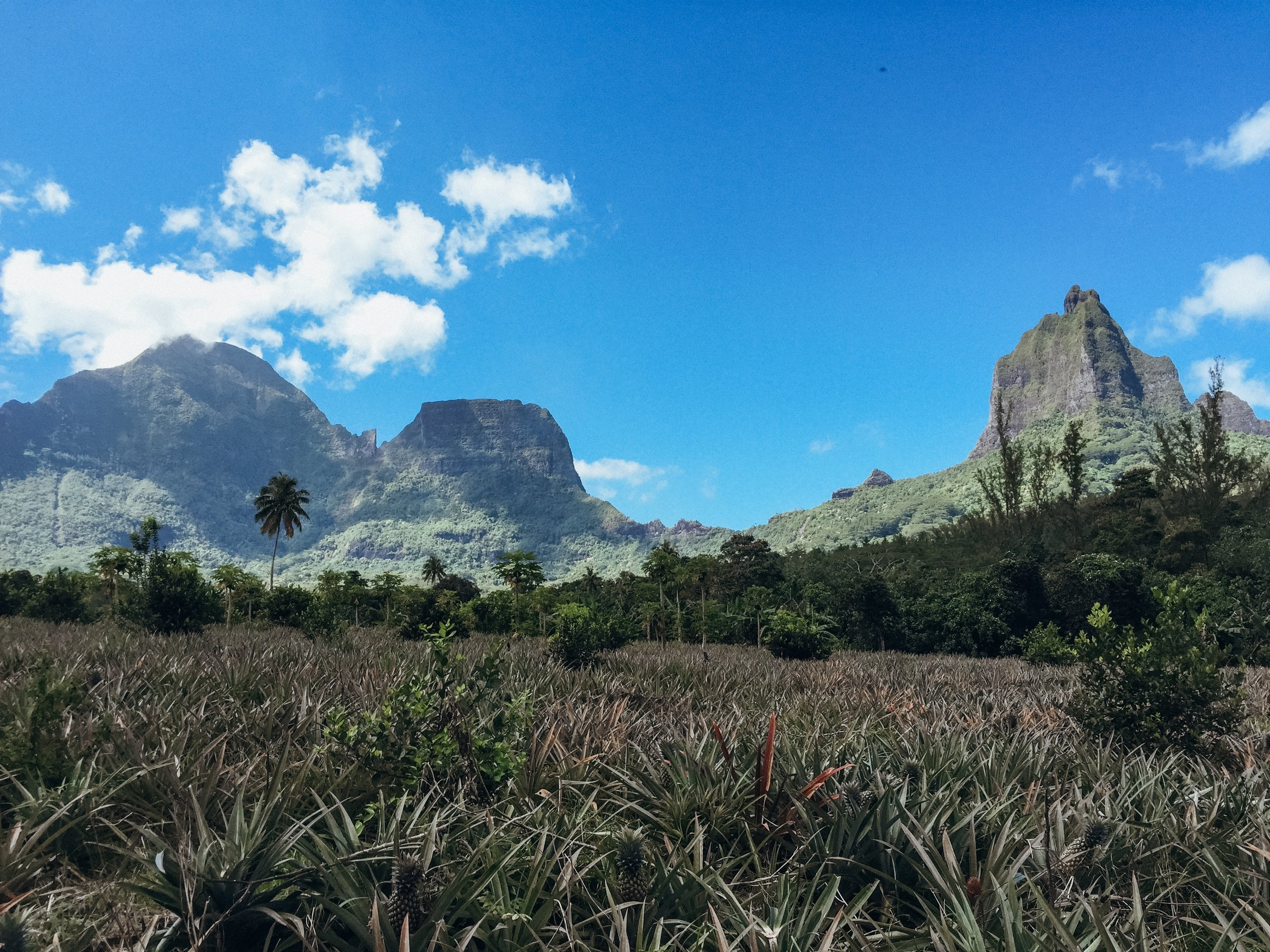 Fields of pineapple surrounded by the mountains of mo'orea.