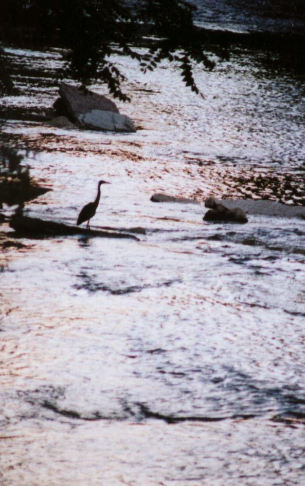 heron water.jpg