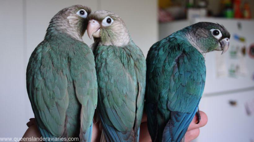 Green-cheek Conure -