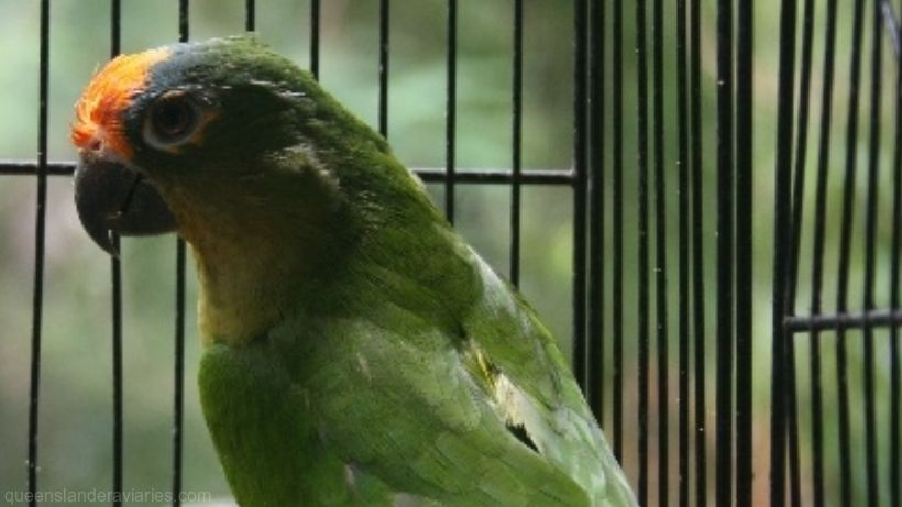 Peach-fronted Conure -