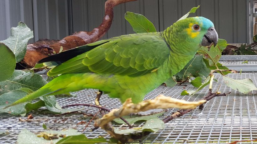Blue-fronted Amazon Parrot -