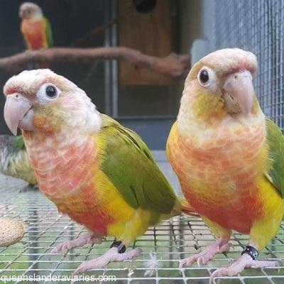 Green-cheek Conure Mutations — Queenslander Aviaries
