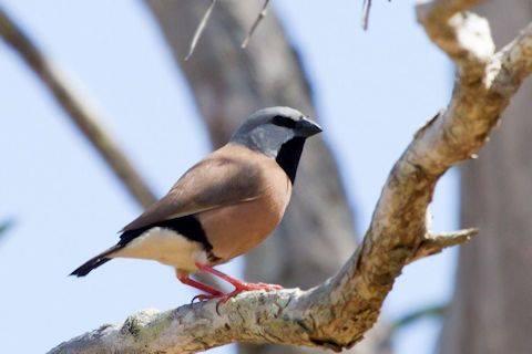Black-throated Finch - Poephila cincta