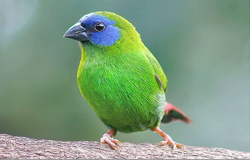 Blue-faced Parrot Finch - Erythrura trichroa
