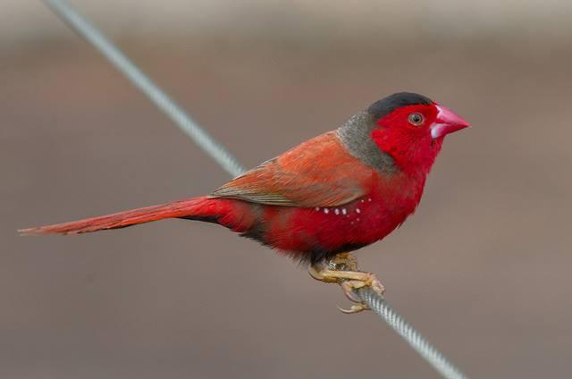Crimson Finch - Neochmia Phaeton