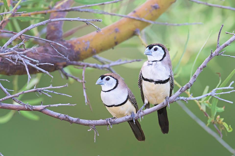 Double Bar Finch - Taeniopygia bichenovii