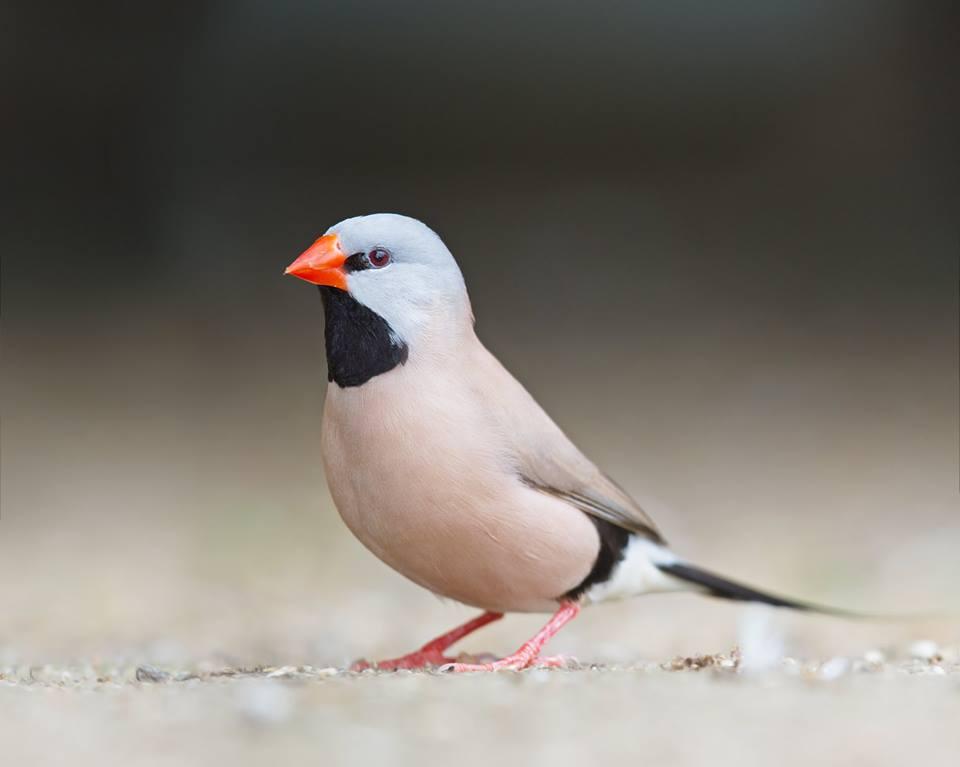 Longtail Finch - Poephila acuticauda