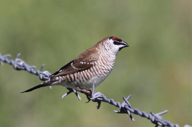 Plum-headed Finch - Aidemosyne modesta