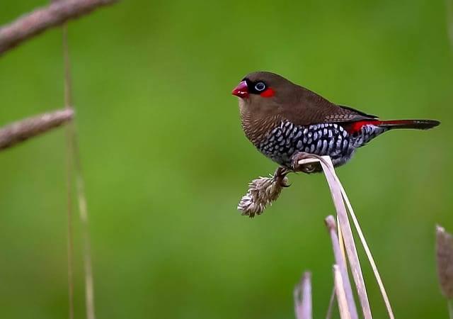 Red Eared Firetail Finch - Emblema oculata
