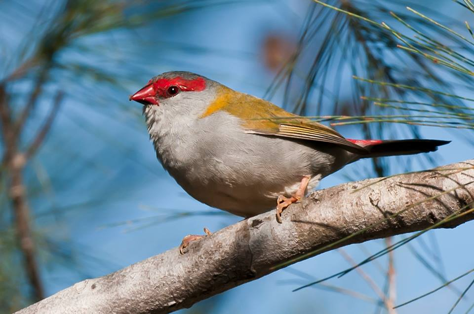 Red Browed Finch - Aegitha temporalis