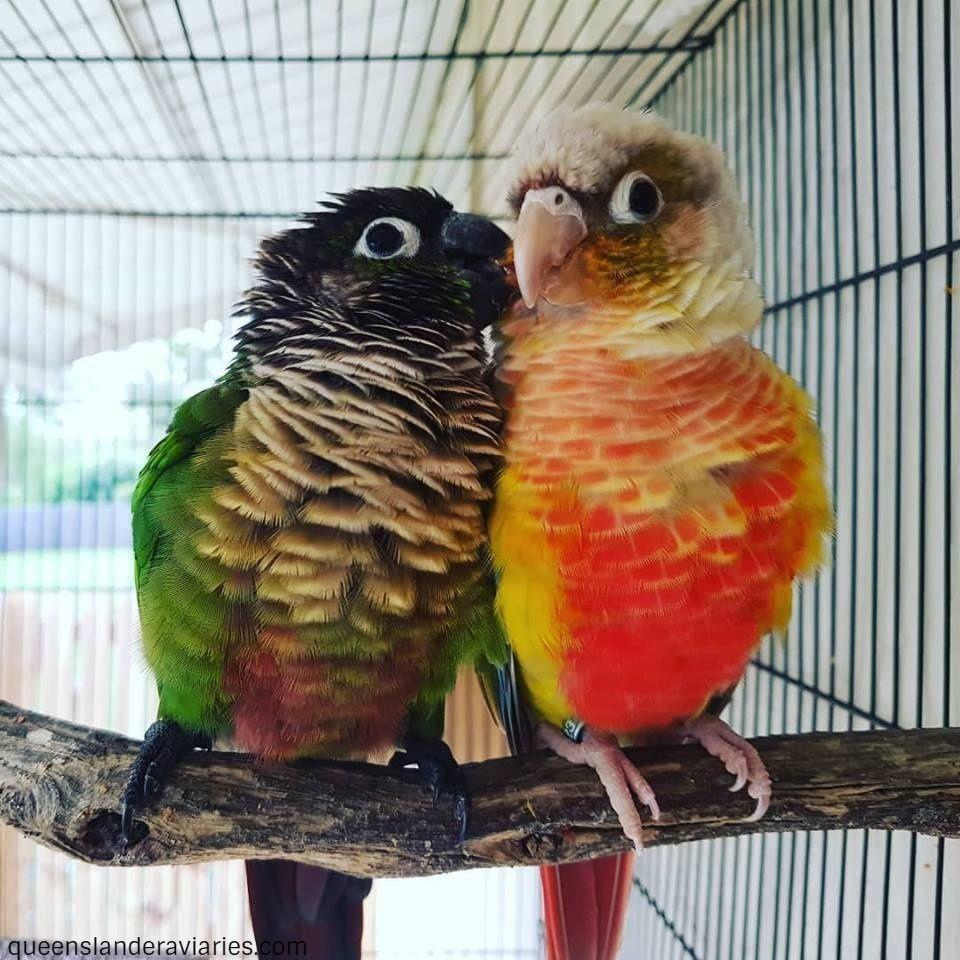 Green-Cheek Conures -