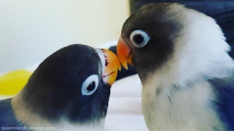 MaskedLovebirds -