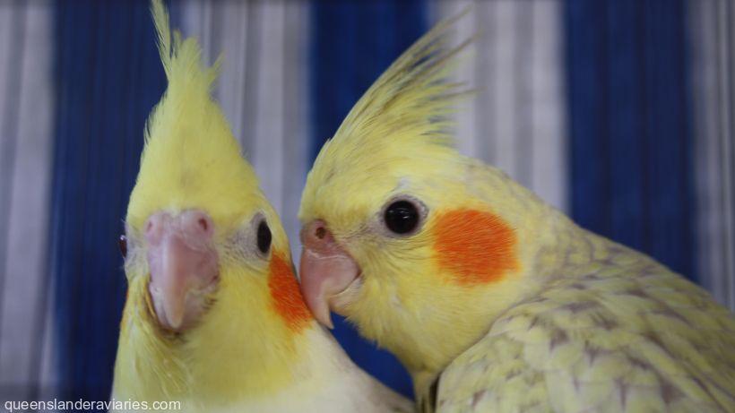 Pet Cockatiels -