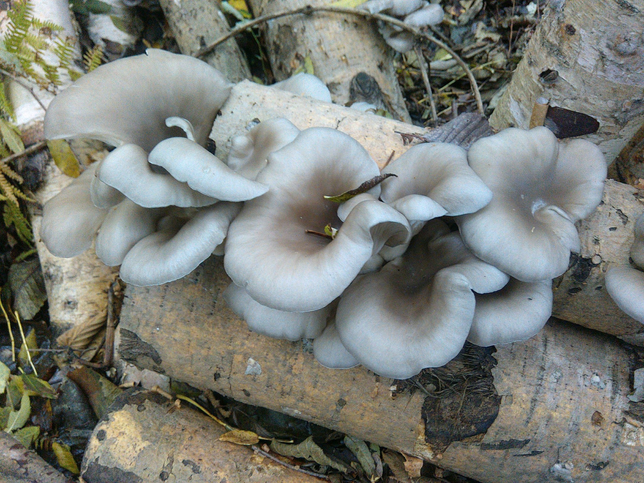 Oyster mushrooms growing on silver birch and poplar logs.