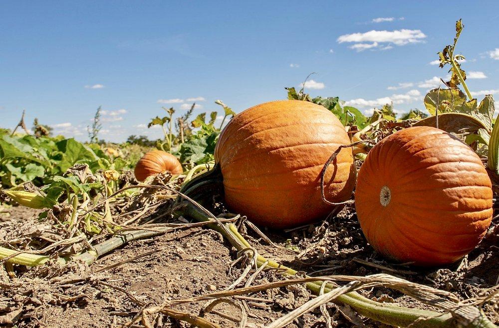 New Salem Corn Maze Pumpkin patch