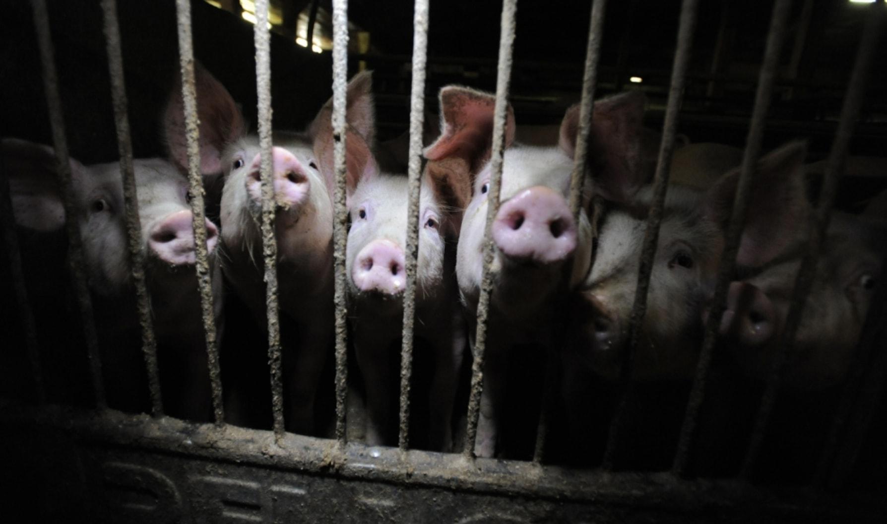 vegan-plantbased-pigs-factoryfarm.jpg