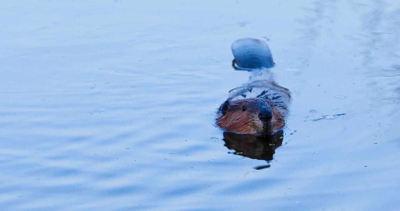 wet beaver.jpg