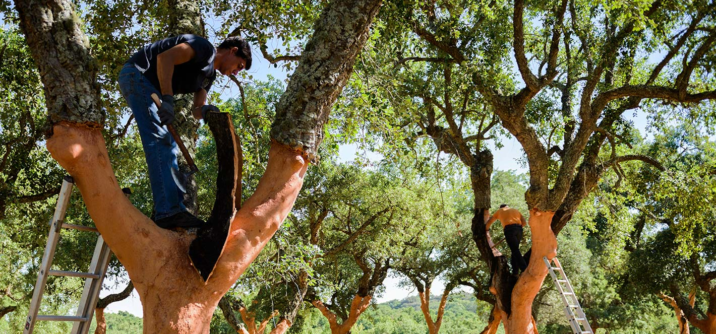 Descortiçadores have been harvesting cork with axes for thousands of years.