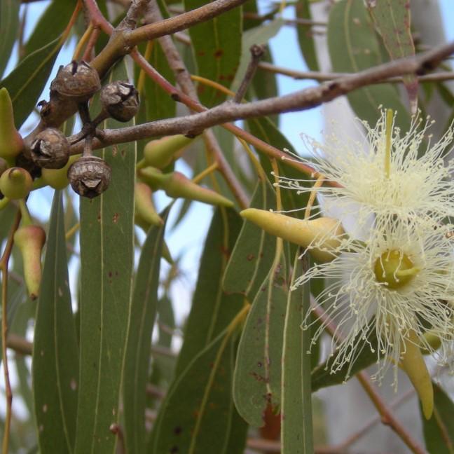Eucalyptus-1024x648.jpg