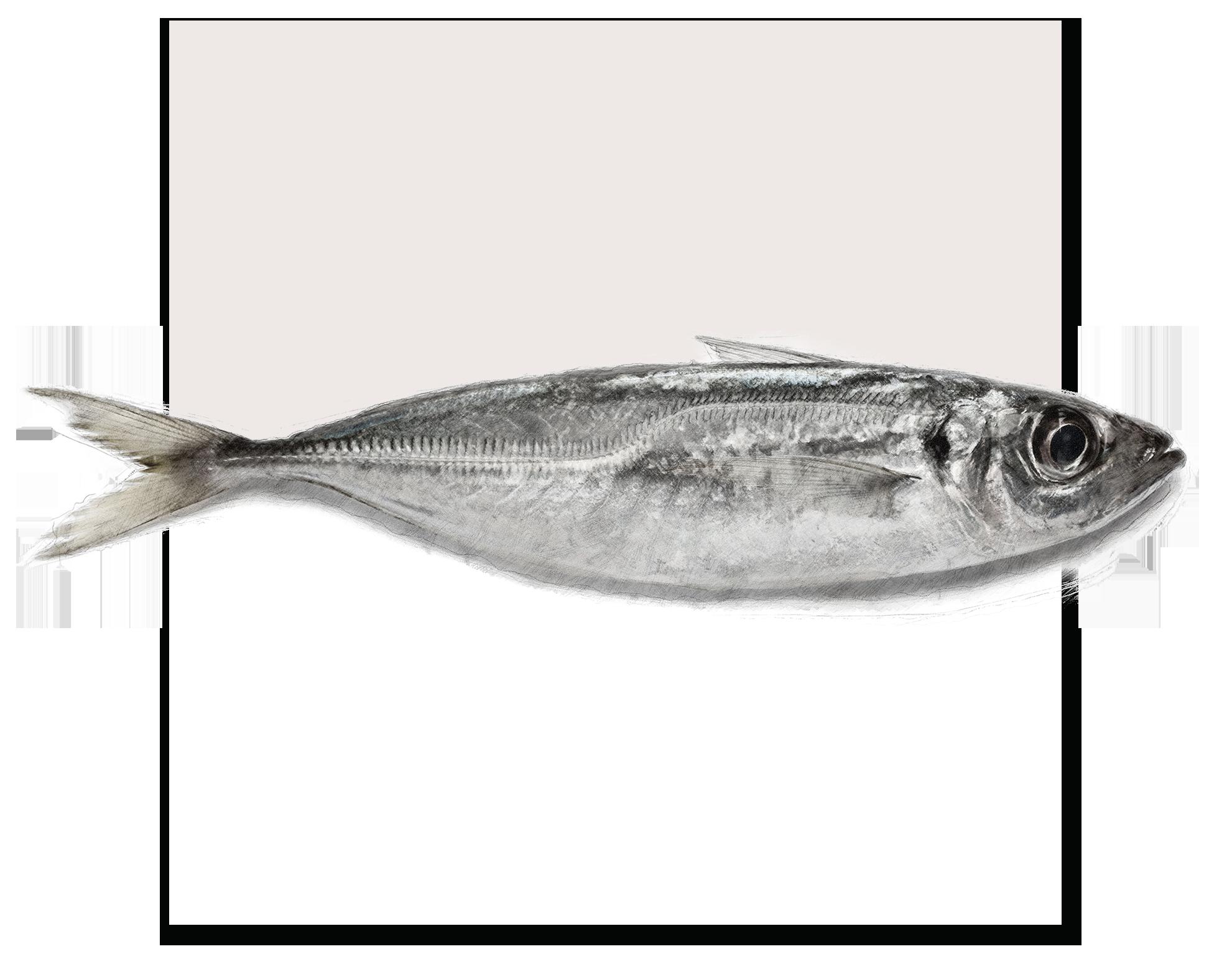 FrozenHorse MackerelWhole Round - Trachurus Trachurus
