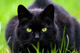 black-cat-in-grass.jpg