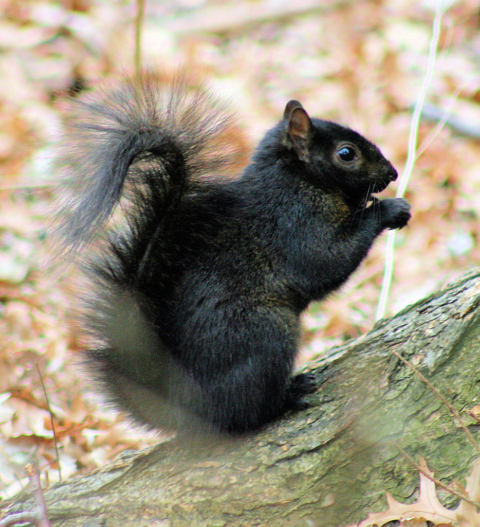 Black_Squirrel.jpg