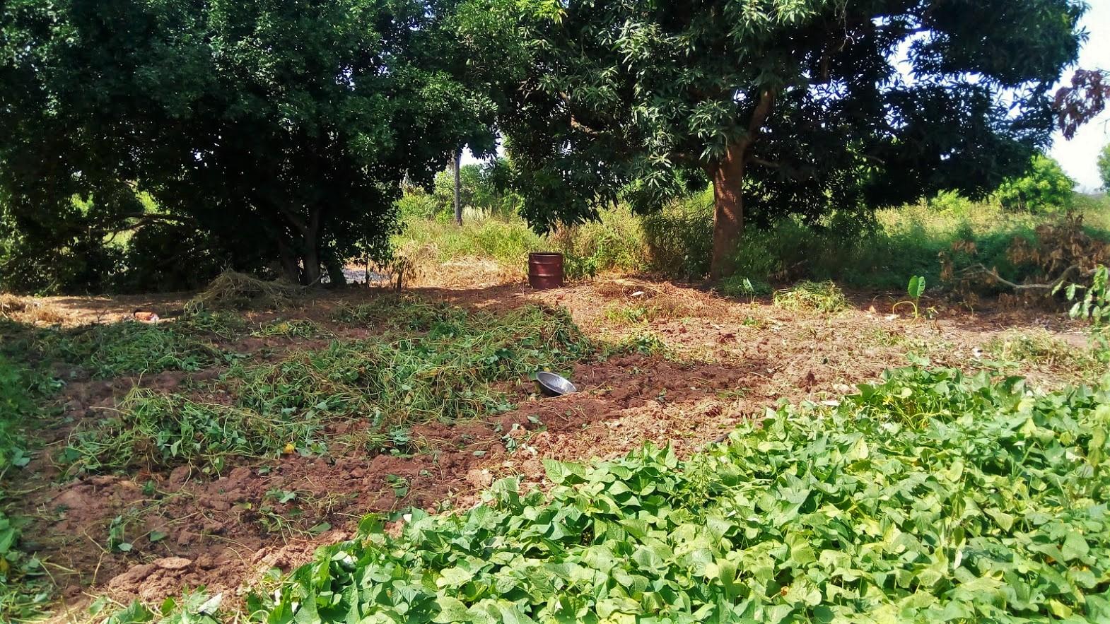 Nafi's backyard, where she has begun bush clearing.