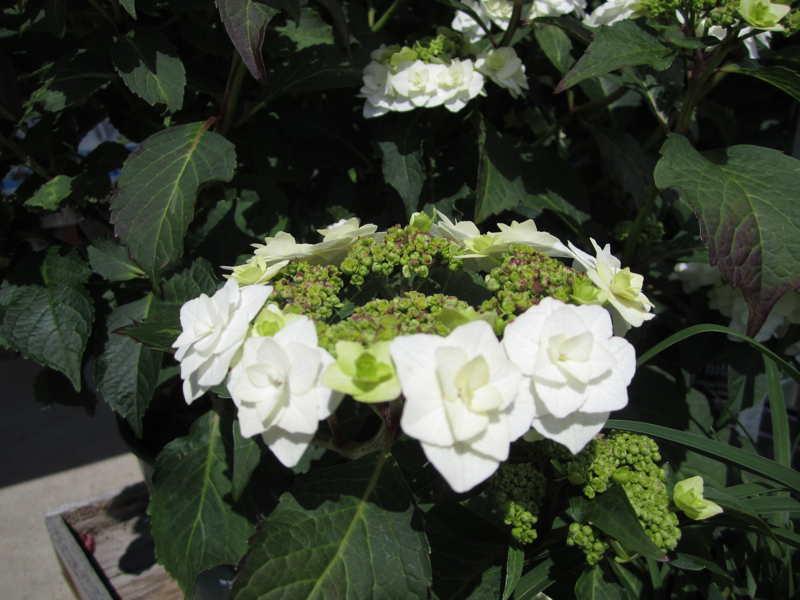 Wedding Gown Hydrangea