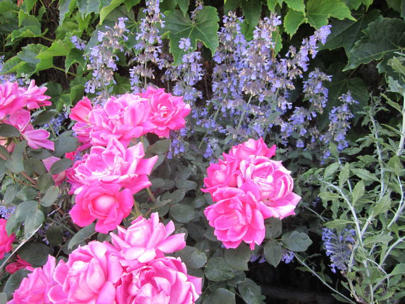 Rose with Catmint
