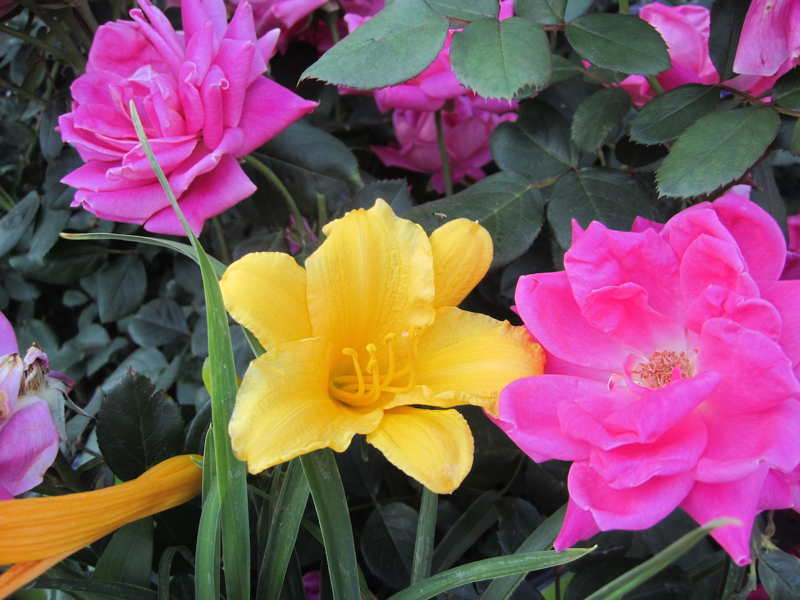 Stella D'Oro Daylily w/ Double Pink Knockout Rose