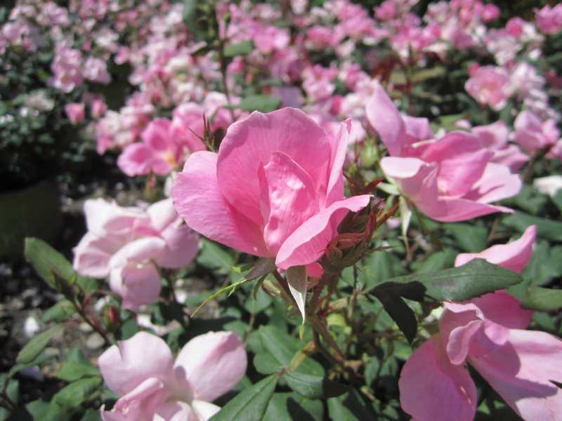 Blushing Knockout Rose