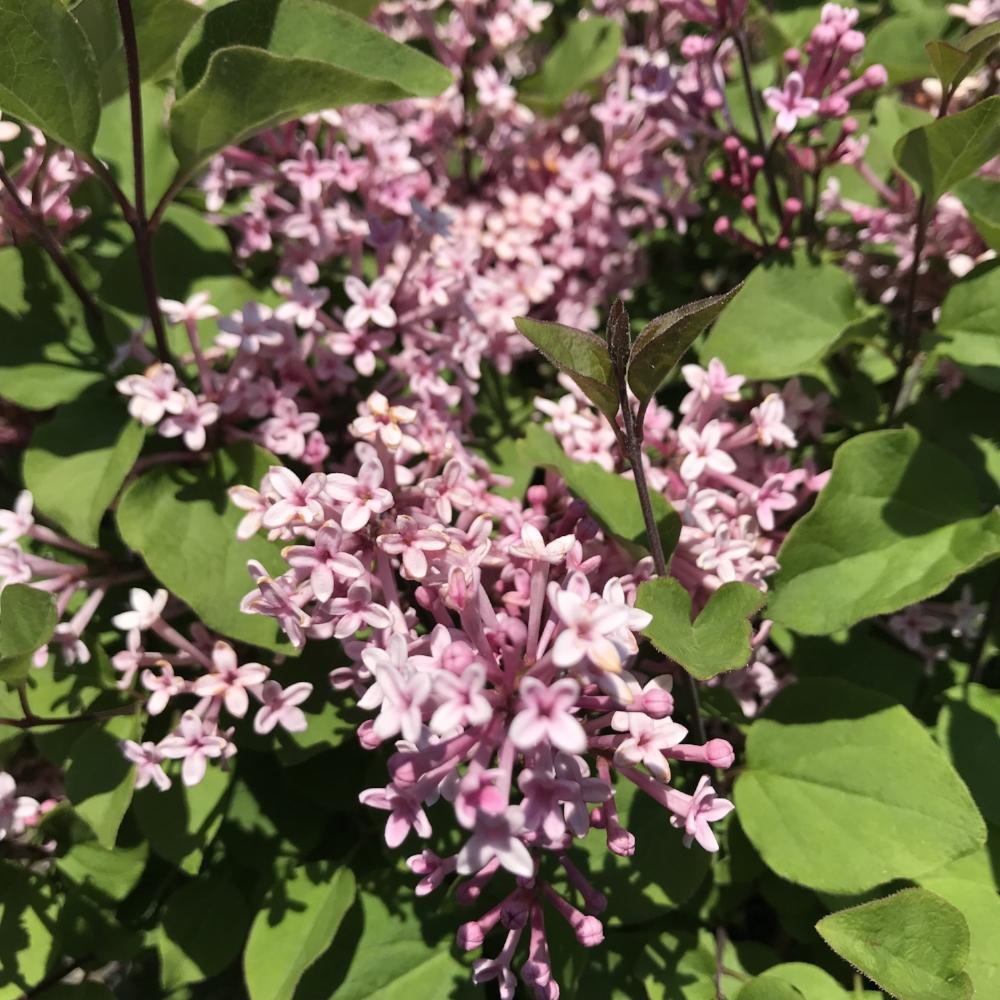 Bloomerang Pink Perfume Lilac