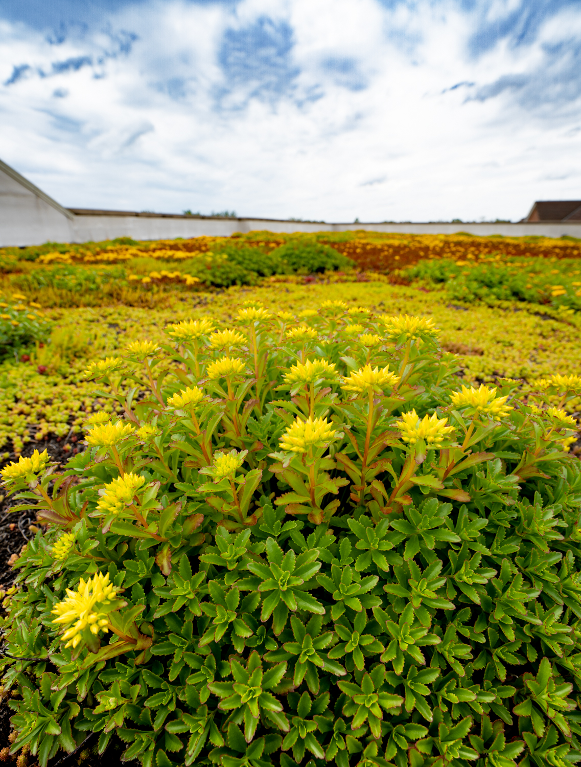 Lake Forest High School Green Roof by Ecogardens-6.jpg