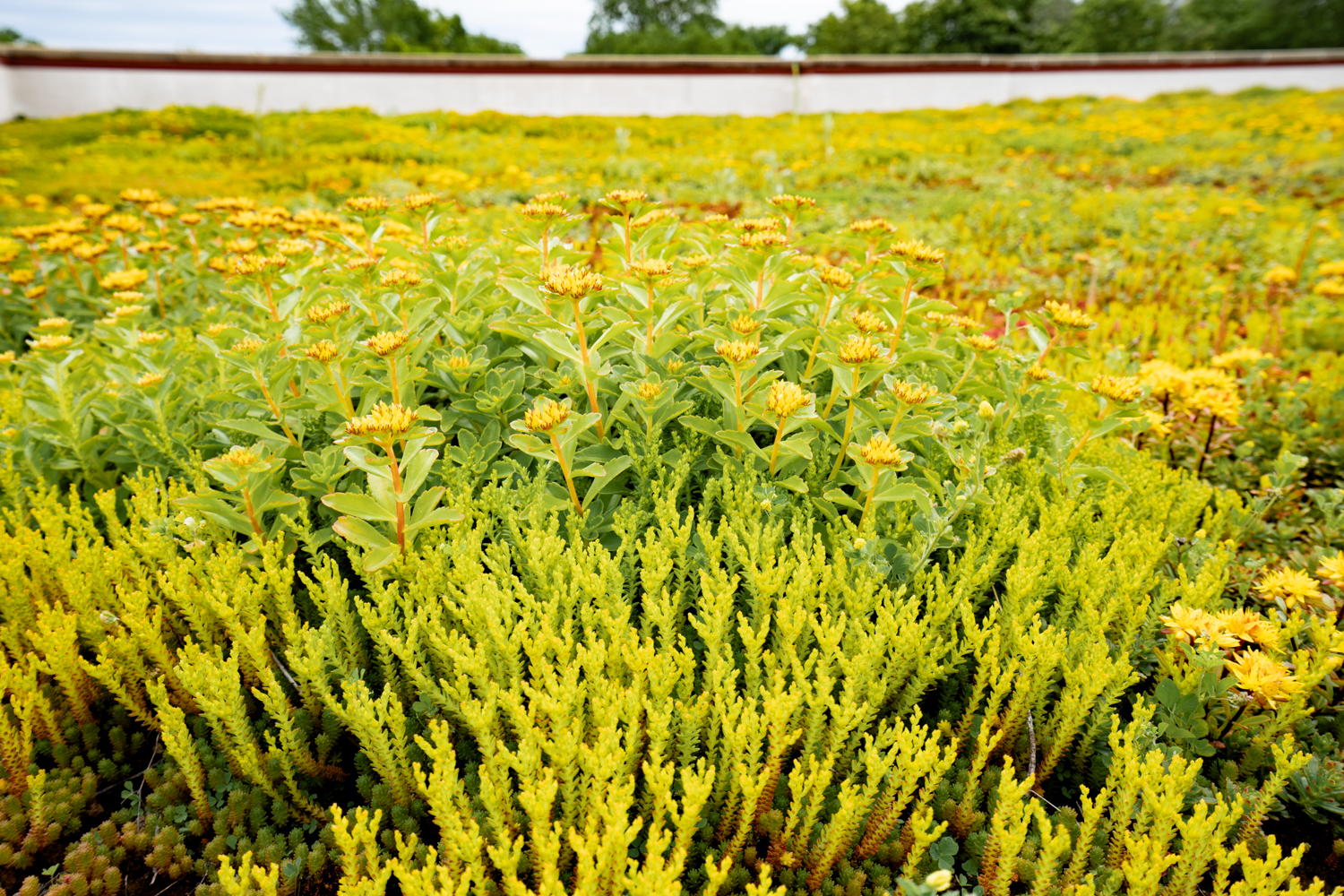 Lake Forest High School Green Roof by Ecogardens-9.jpg