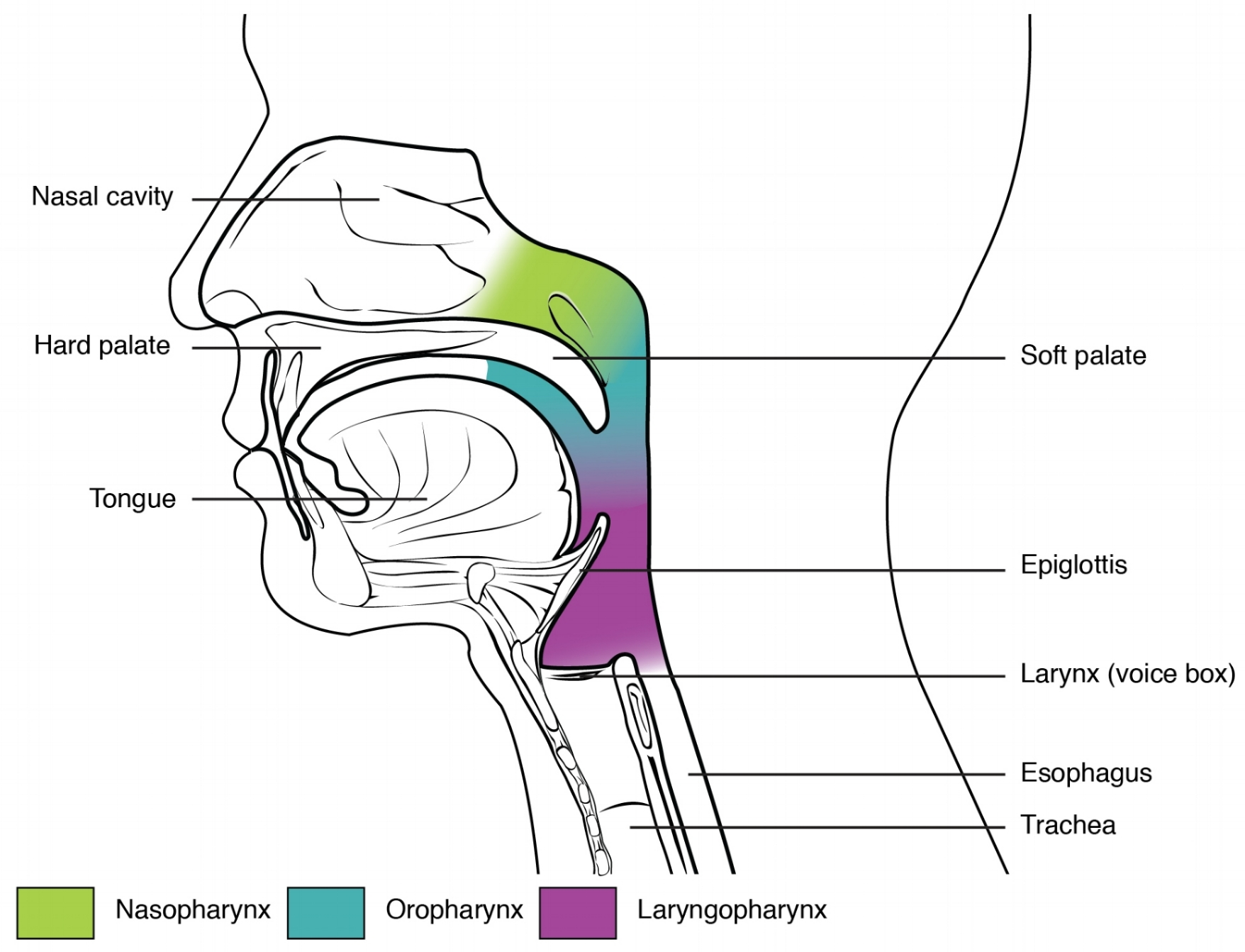 Anatomy & Physiology, Connexions Web site.  http://cnx.org/content/col11496/1.6/ , Jun 19, 2013.