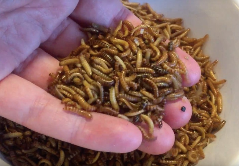 Crushed Buffalo worms are the main component of Bugfoundation's insect burgers.