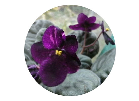 There are purple violets -