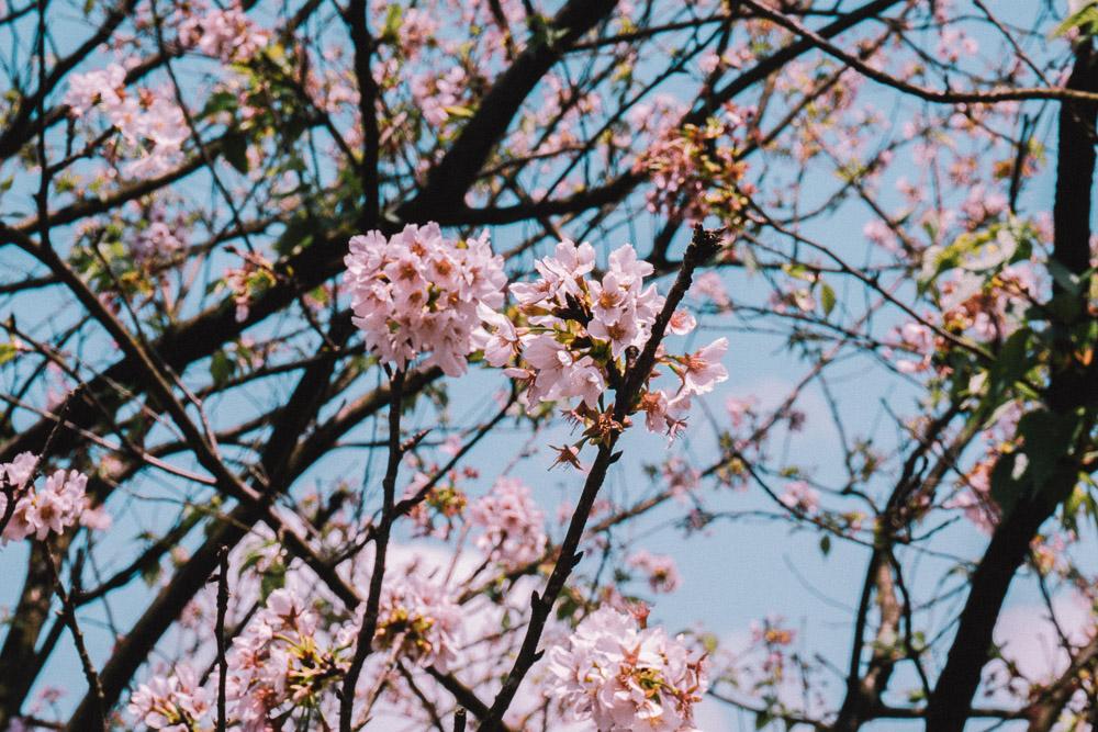 Taipei_cherry_blossom.jpg