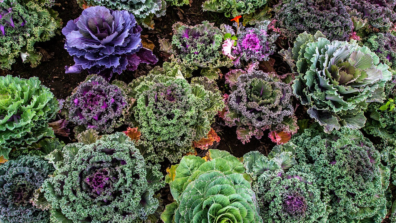 Beautiful Kale
