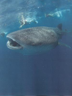 Cancun-and-the-Riviera-Maya-whale-shark.jpg