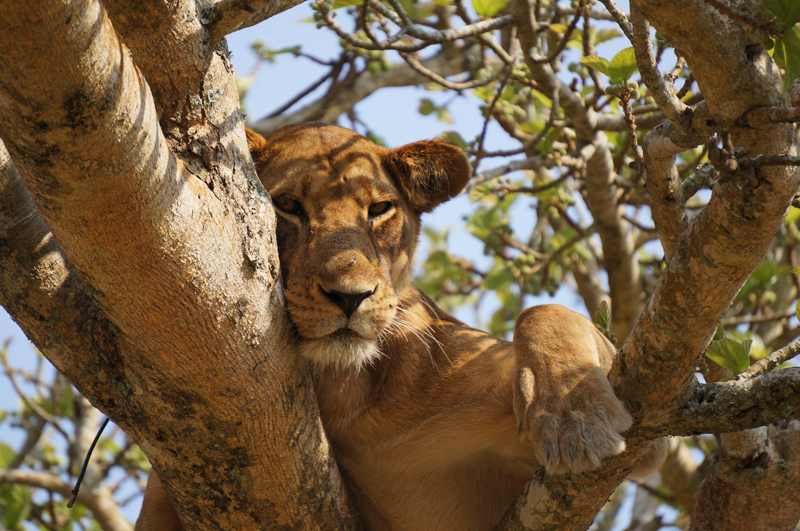See African Lions through Independent Travel with a local host