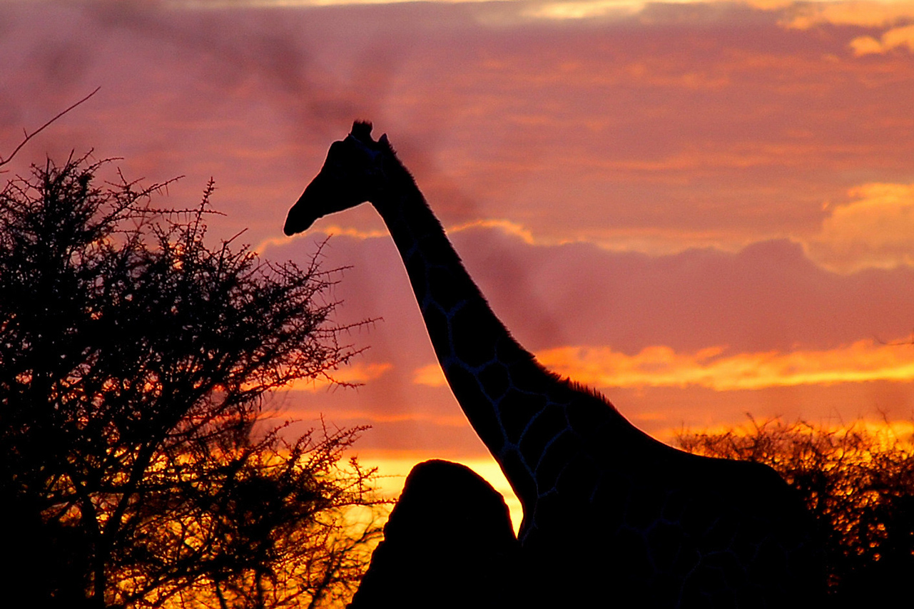 Giraffe at sunrise in Samburu National Park, Kenya