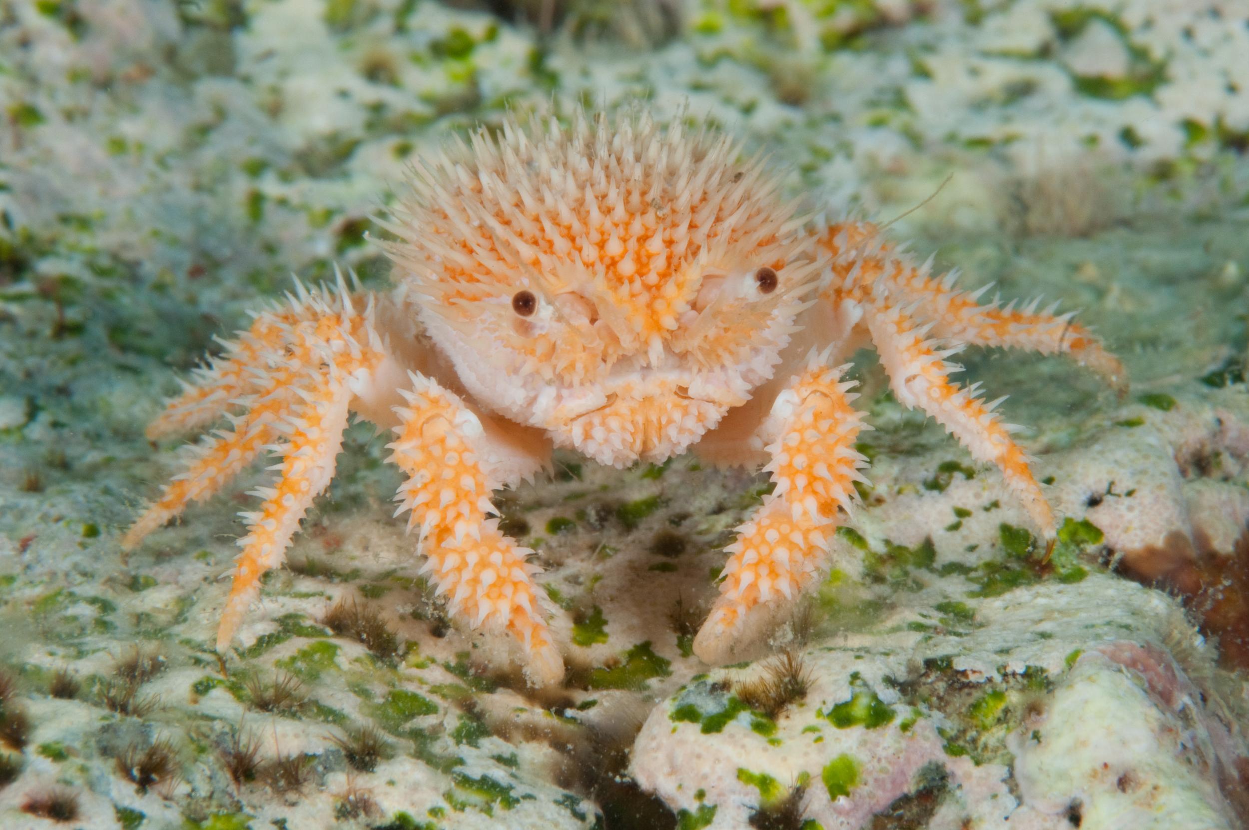 BAR-2186_deep-water-crab.JPG