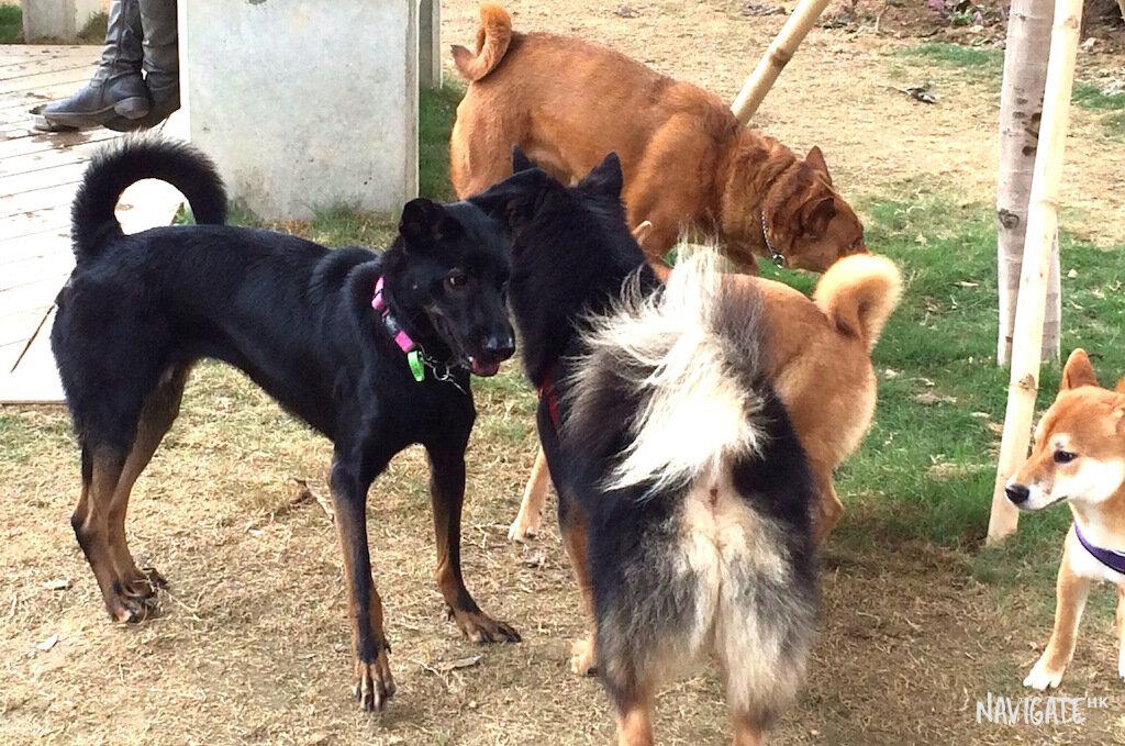 Doggo's having fun in a dog park in Sham Shui Po