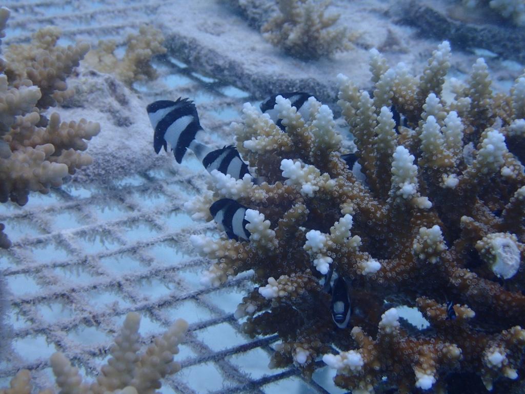 Fresh, living coral nursery