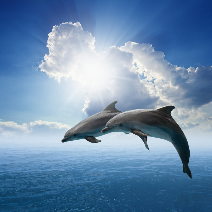 bottlenose dolphins leaping.jpg
